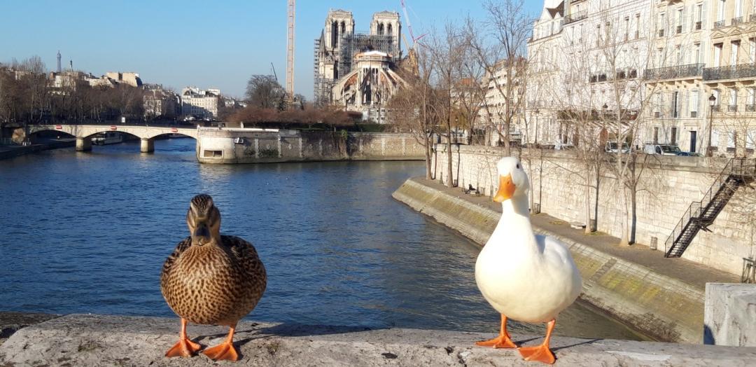 Pour le Festival Chemin Faisant, photo de 2 canards, debouts sur le rebord du Pont de la Tournelle à Paris décrit la nature qui reprend ses droits durant le confinement (des hommes) lié au COVID19